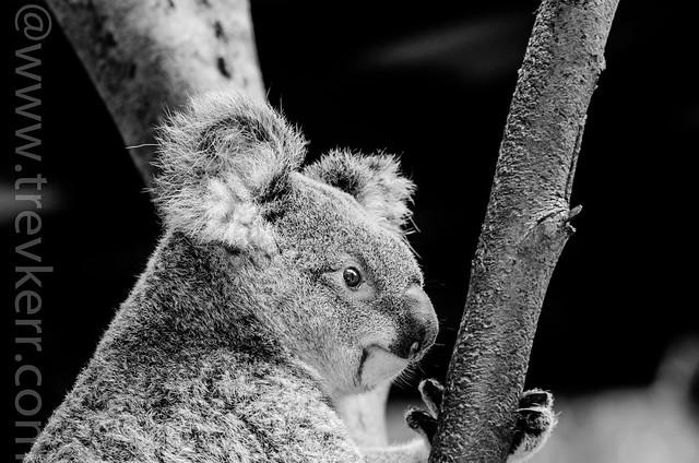I aint a bear I am a marsupial !