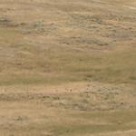 Pronghorn Antelope bedded down