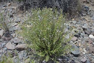 Brickellia oblongifolia var. linifolia 2016.6.13.1 | by geodesert