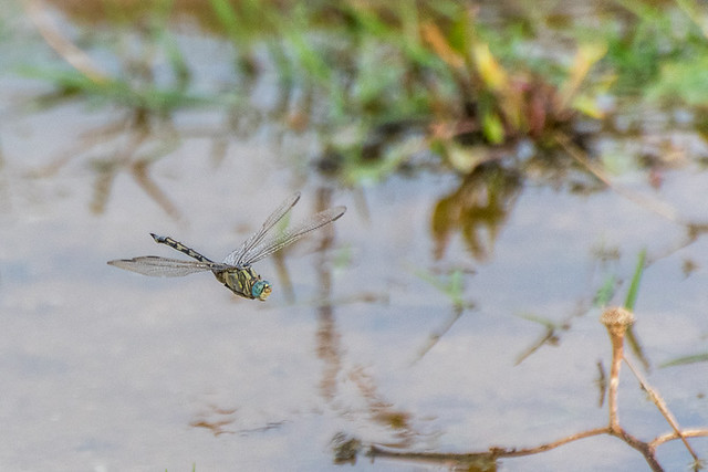 Celeste-sabre | Orthetrum trinacria | Long Skimmer (fêmea)