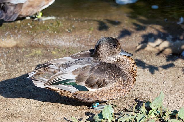 Falcated Duck (Anas falcata) at Woodland Park Zoo (4)