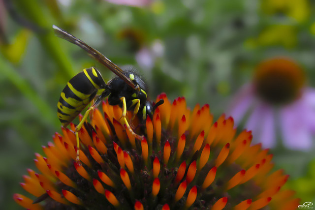 Wasp on Coneflower