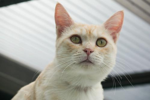 IMG_5274 Cream tabby Japanese cat 薄茶トラ猫