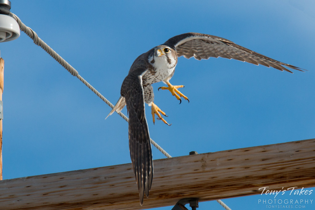A Prairie Falcon keeps watch and launches into the air. (© Tony's Takes)