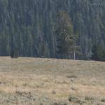 Spike bull elk