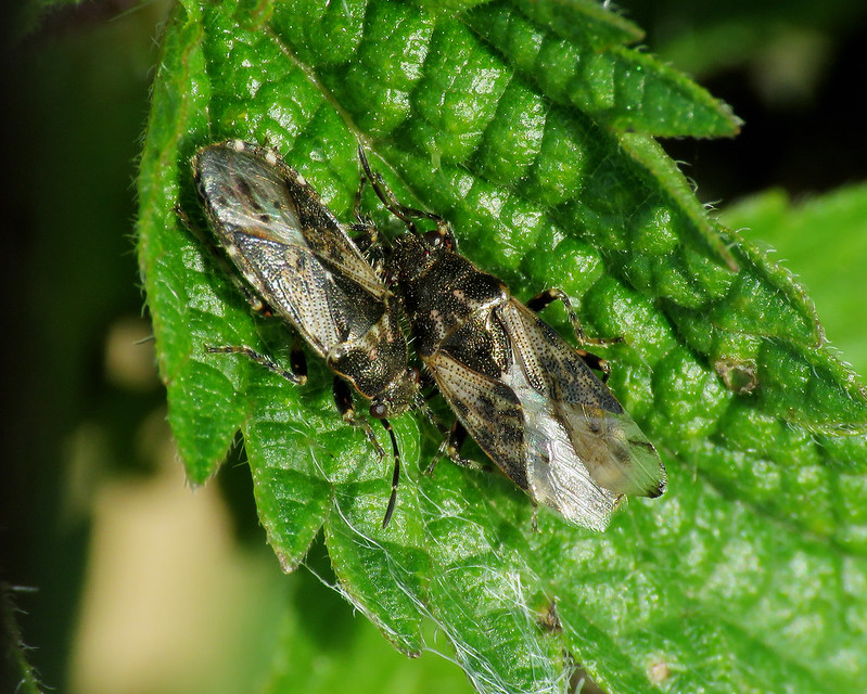 Nettle Ground Bug - Heterogaster urticae