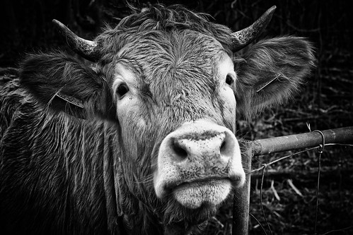 The Conversational Cow
