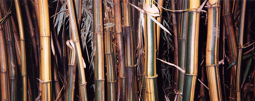 A stand of striped bamboo in Mexico