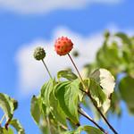 ヤマボウシの実 Kousa Dogwood (fruits)