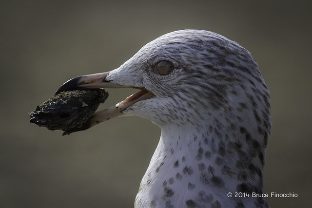 Young Riing-billed Gull With Clam In Its Beak