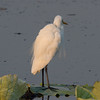 Intermediate Egret (Ardea intermedia)(breeding plumage).01 by Geoff Whalan