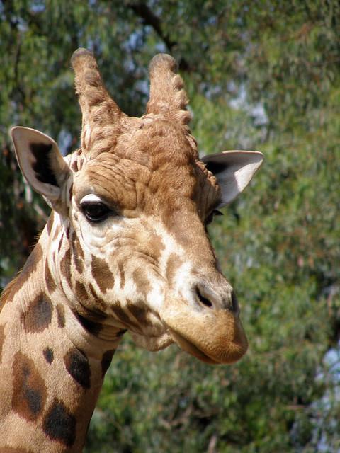 An Evil Giraffe