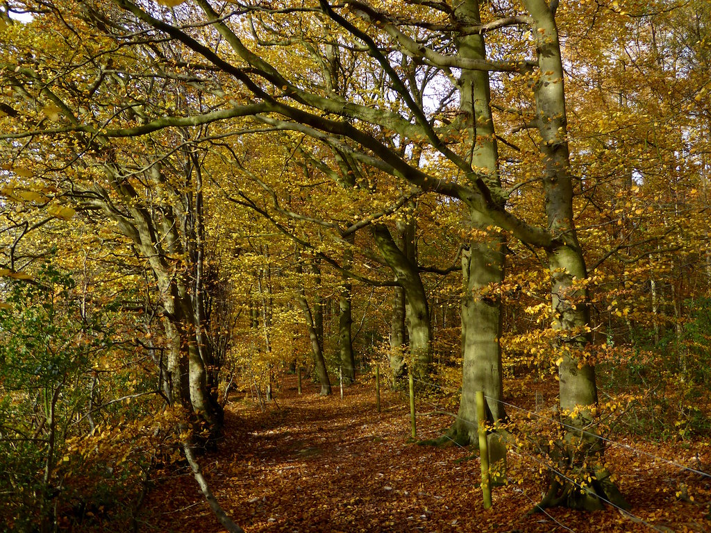 Monkton Wood beeches Princes Risborough to Great Missenden walk