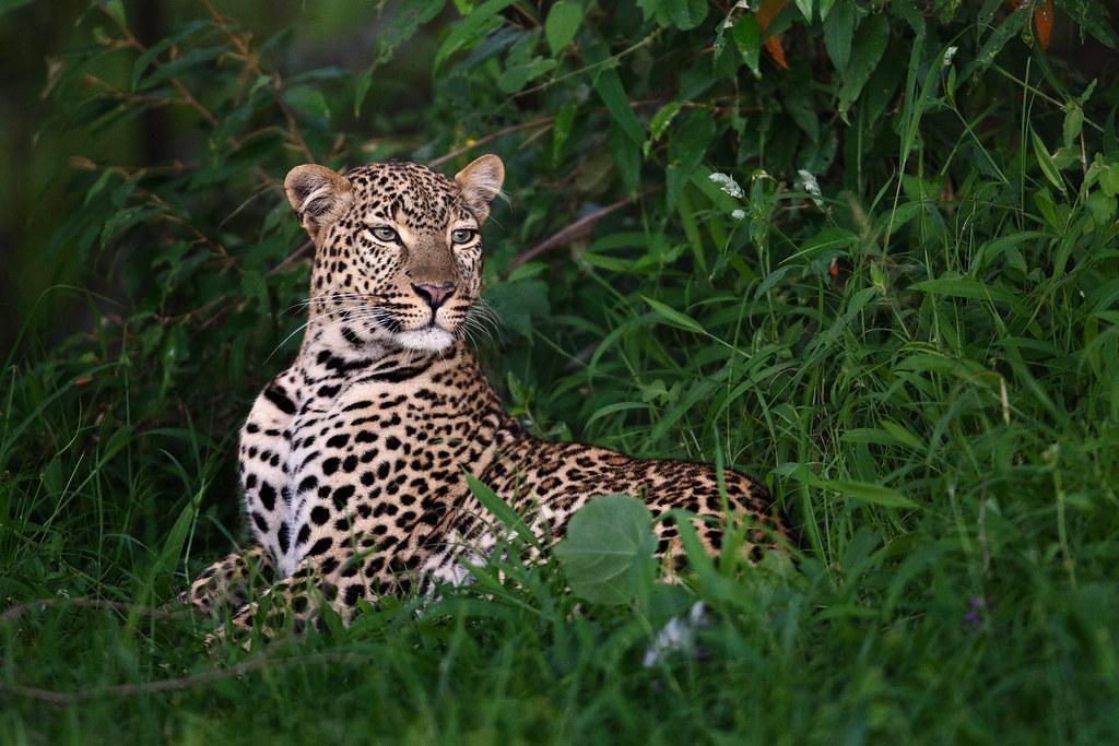 Image: Resting Leopardess