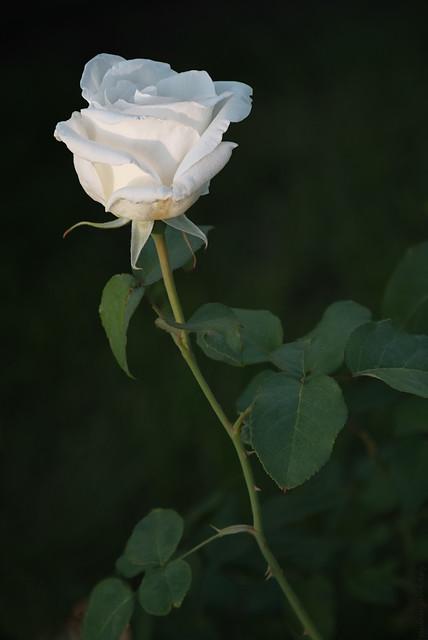 RUS49047(Little White Rose)