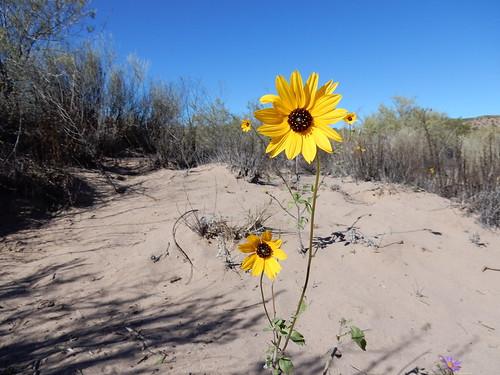 Bosque del Apache NWR - bloem
