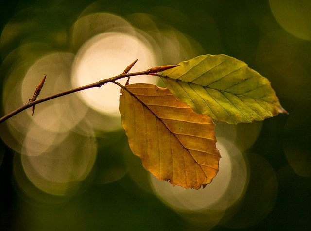Back-lit Beech Leaves