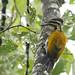 Woodpeckers of Borneo