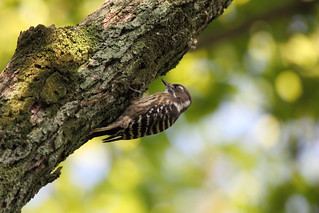 Japanese pygmy woodpecker | by punajalkahaukka