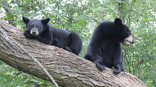 Black Bears | by U.S. Fish and Wildlife Service - Midwest Region