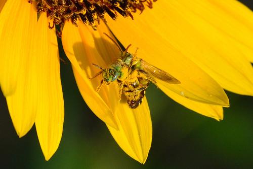sunflower kansas mating greenbee wichita agapostemon metallicgreenbee chisholmcreekpark