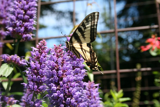 swallowtail butterfly   🌟