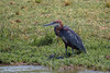 Goliath Heron - Relaxing? by Hector16