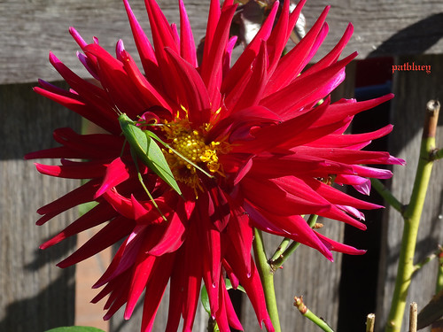 dahlia light red insect 1001nights mygarden katydid newsouthwalesaustralia greenleafinsect 1001nightsmagiccity