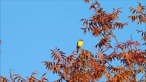visalia couchskingbird tyrannuscouchii