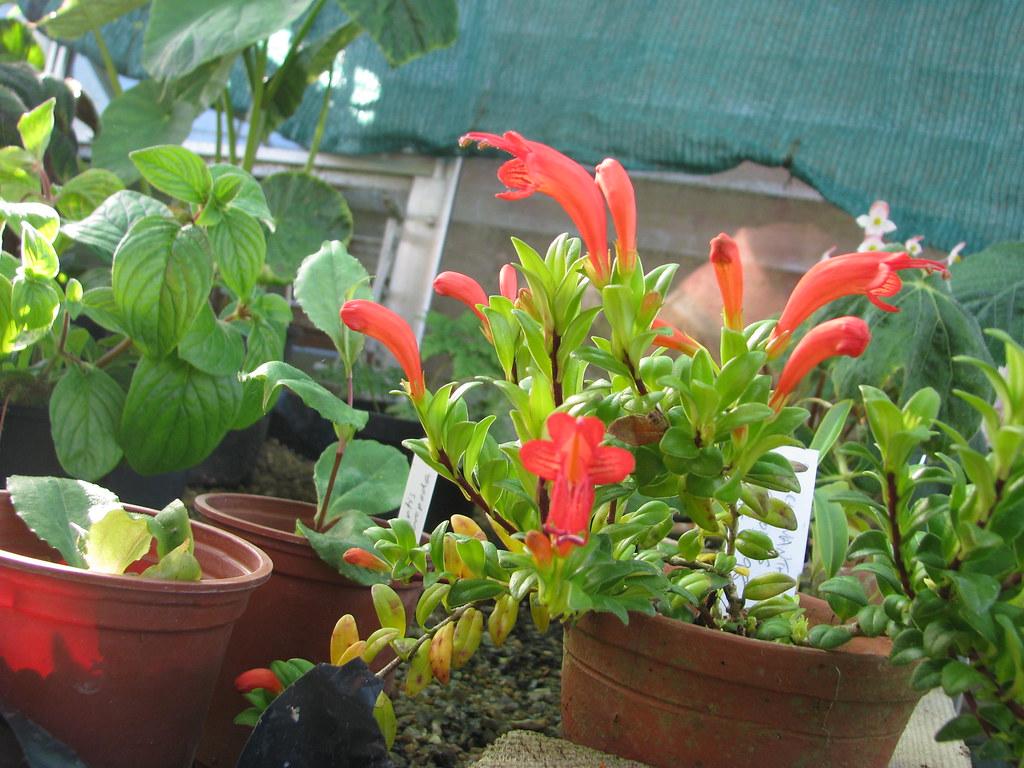 Aeschynanthus buxifolius