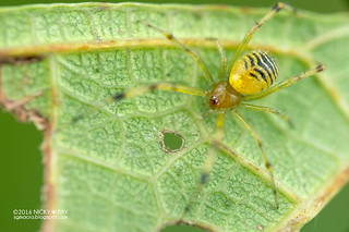 Comb-footed spider (Theridion sp.) - DSC_5339