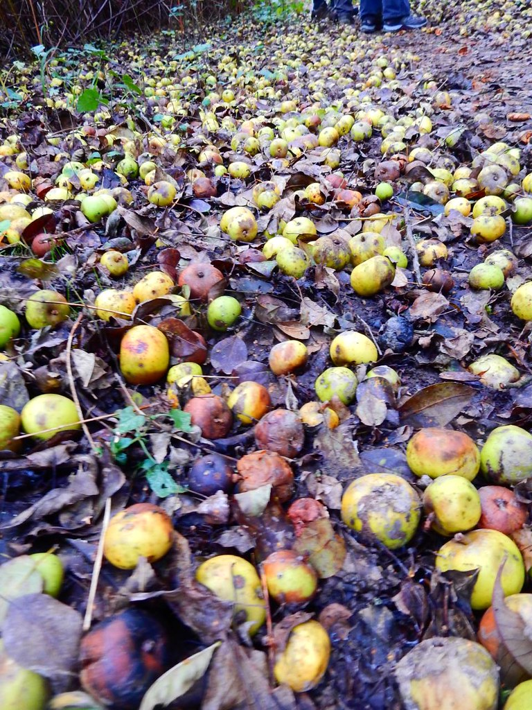 Crab apples Witley to Haslemere