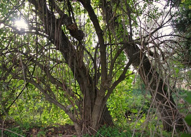 alberi e radici - Pianello di Ostra