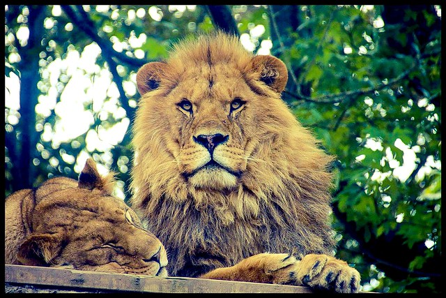 Lions Newquay Zoo Oct 2015