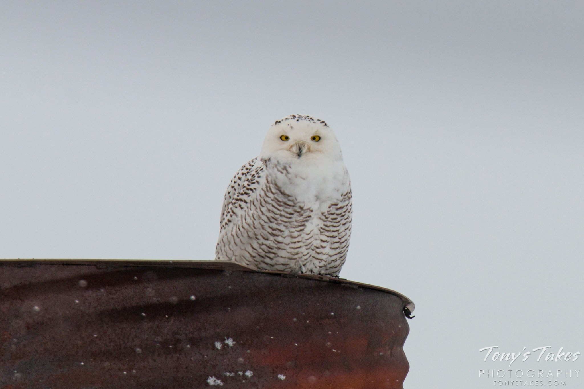 Snowy Owl makes an incredibly rare appearance