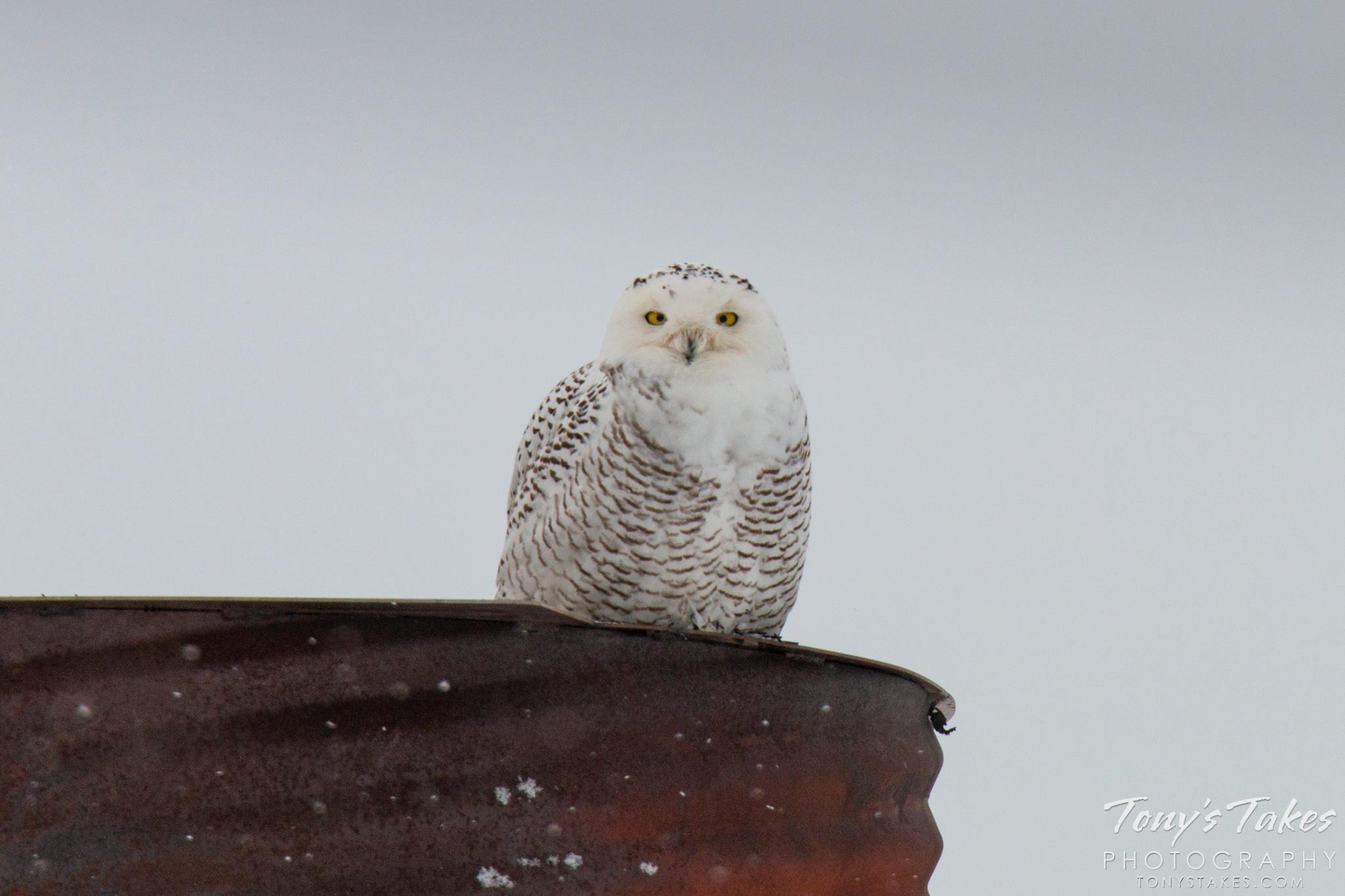 Return of the Snowy Owl?