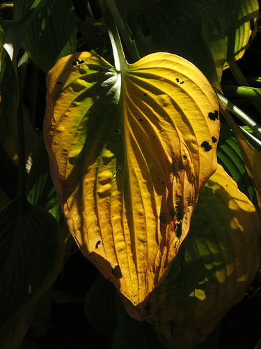 Back-lit dying leaf of a Hosta in my garden, Vancouver, BC