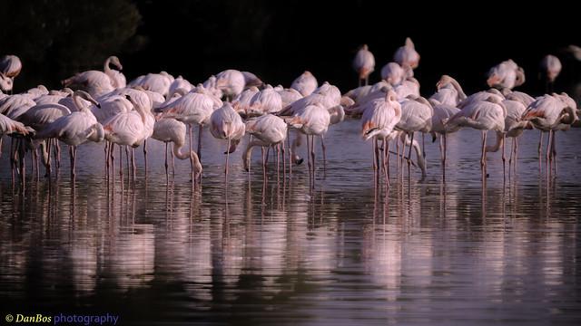 Flamingos reflection