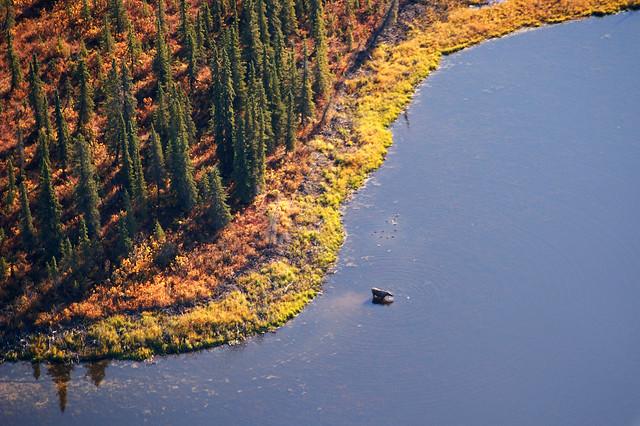 Moose in the Kobuk River