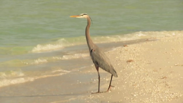 Great Blue Heron at Celestún Beach