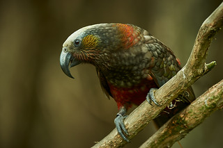 South Island Kaka | by Craig McKenzie