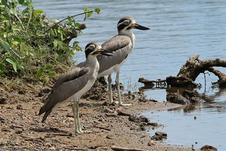 Great Thick-knee | by Linda Bushman