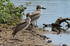 Great Thick-knee by Linda Bushman