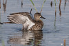 Blue-winged Teal @ Anahuac NWR by Chasing Photons