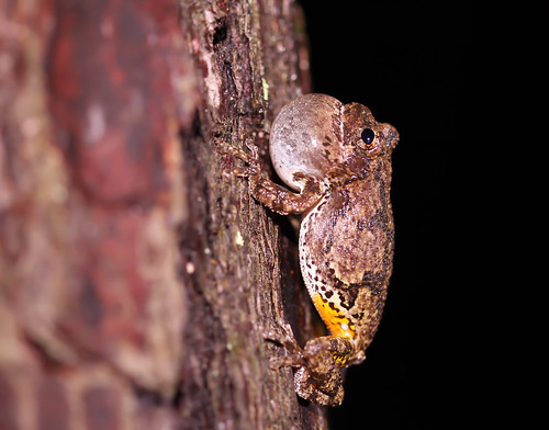 Gray Tree Frog in situ | by jack4rogers