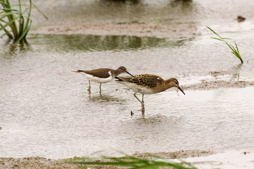 Ruff with Common Sandpiper | by ipin-by-the-sea