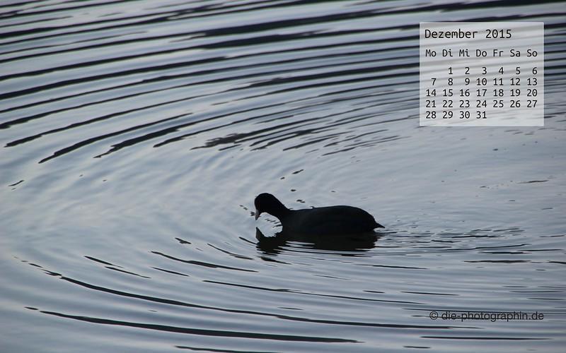 wasserhuhn_dezember_kalender_die-photographin