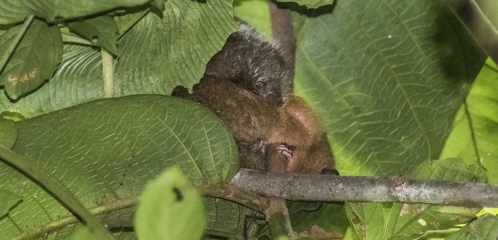 My First Silky Anteater