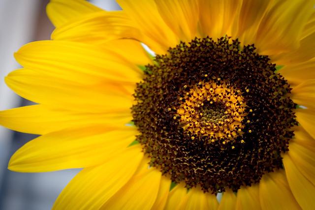 close up of a sunflower in evening sun