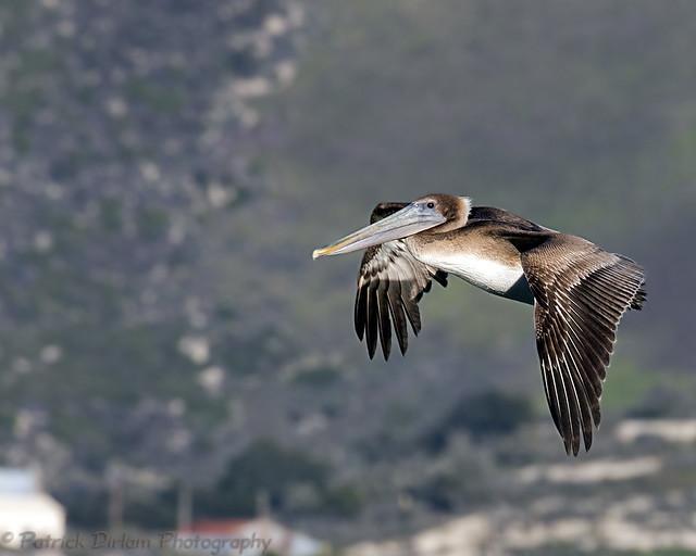 Brown Pelican at Avila Beach